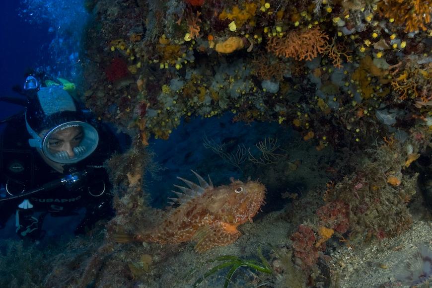 scorfano tana immersione isola di pianosa parco marino elba