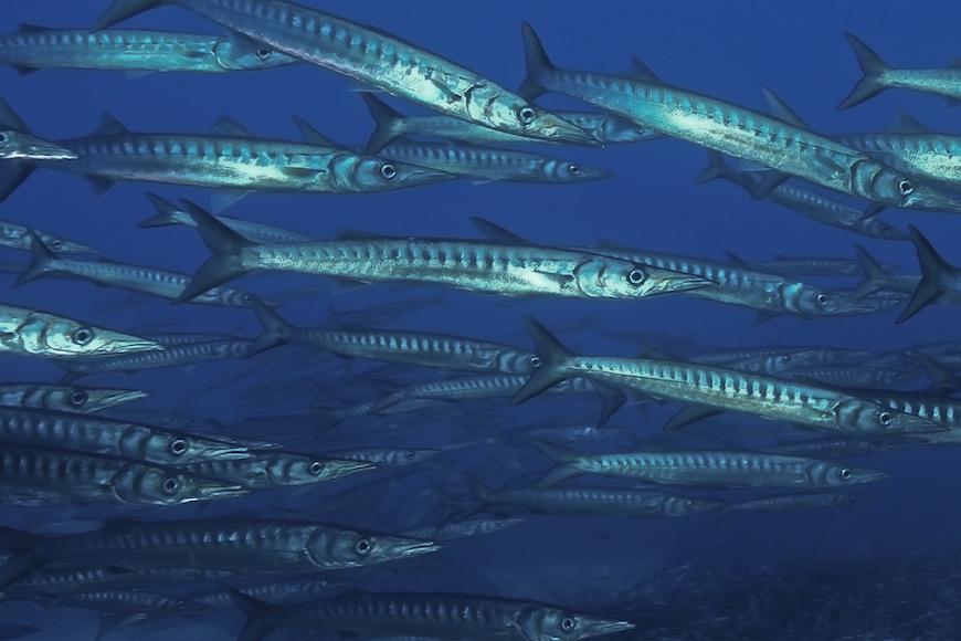 branco barracuda immersione isola di pianosa parco marino elba